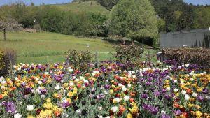 tulipes dans le jardin du musée des impressionnistes