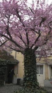 arbre en fleurs dans la cour de la maison Ravoux