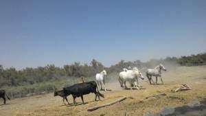taureaux et chevaux