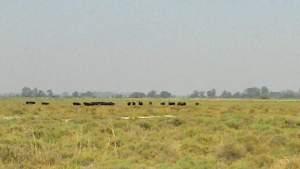 champ avec des taureaux au loin
