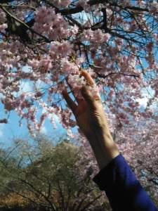 arbre en fleur parking de giverny
